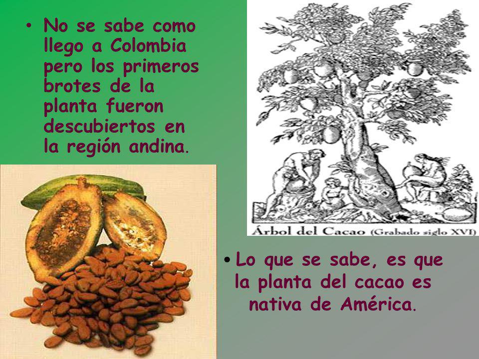 Lo que se sabe, es que la planta del cacao es nativa de América. No se sabe como llego a Colombia pero los primeros brotes de la planta fueron descubi