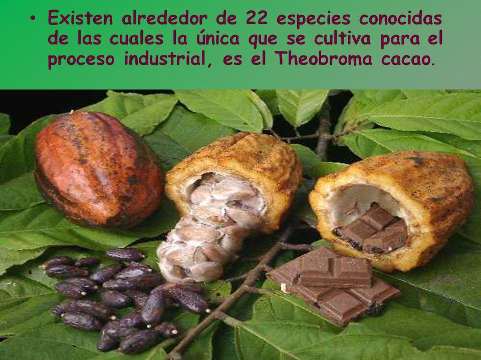 Existen alrededor de 22 especies conocidas de las cuales la única que se cultiva para el proceso industrial, es el Theobroma cacao.