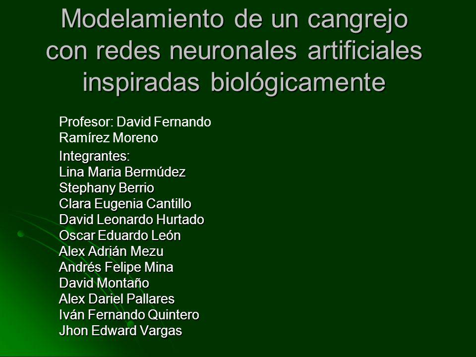 Modelamiento de un cangrejo con redes neuronales artificiales inspiradas biológicamente Integrantes: Lina Maria Bermúdez Stephany Berrio Clara Eugenia