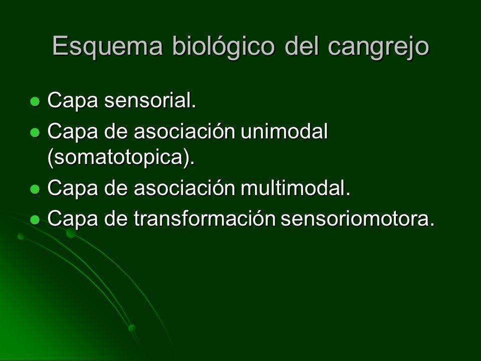 Esquema biológico del cangrejo Capa sensorial. Capa sensorial. Capa de asociación unimodal (somatotopica). Capa de asociación unimodal (somatotopica).
