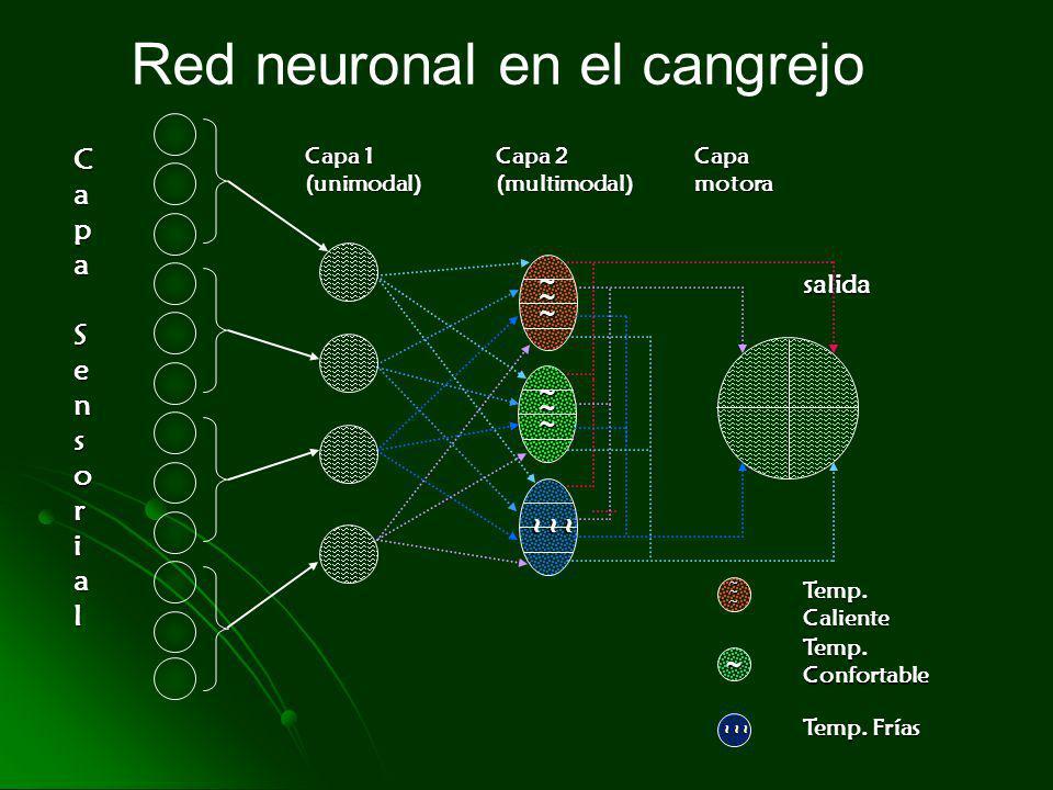 Red neuronal en el cangrejo Temp. Confortable ~~~ salida Capa SensorialCapa SensorialCapa SensorialCapa Sensorial Capa 1 (unimodal) Capa 2 (multimodal