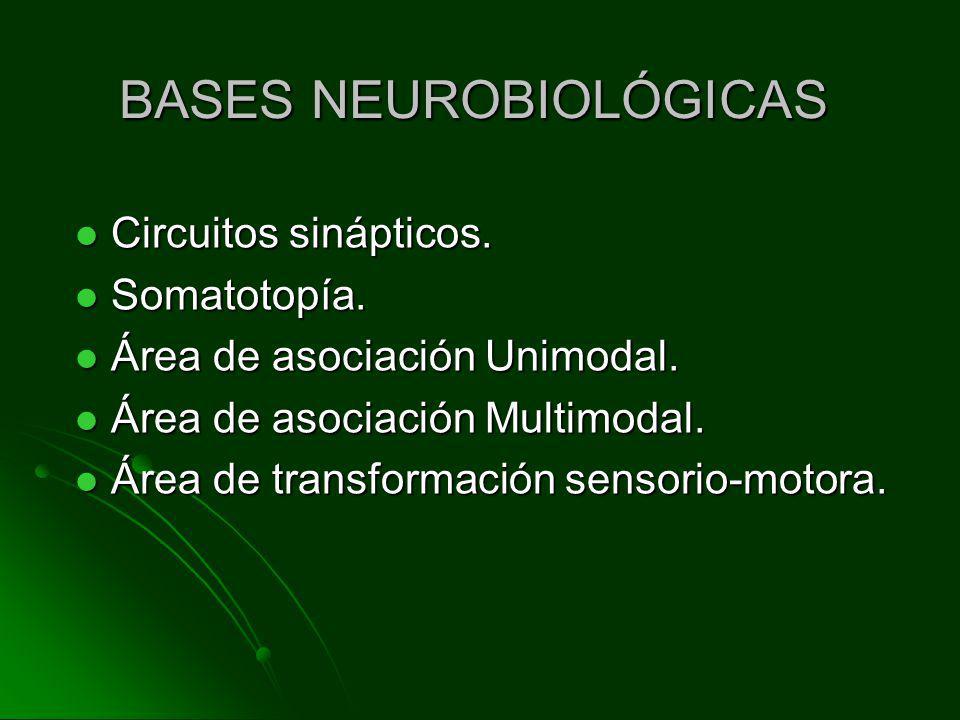BASES NEUROBIOLÓGICAS Circuitos sinápticos. Circuitos sinápticos. Somatotopía. Somatotopía. Área de asociación Unimodal. Área de asociación Unimodal.
