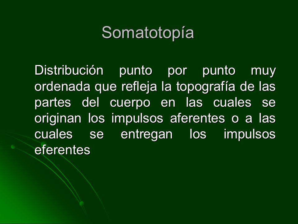 Somatotopía Distribución punto por punto muy ordenada que refleja la topografía de las partes del cuerpo en las cuales se originan los impulsos aferen