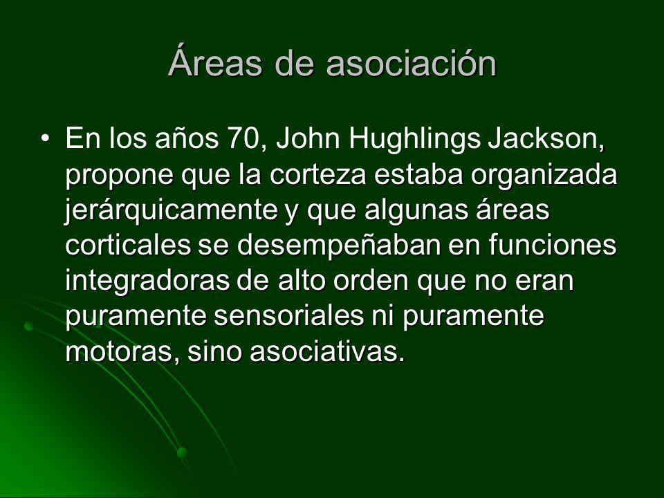 Áreas de asociación, propone que la corteza estaba organizada jerárquicamente y que algunas áreas corticales se desempeñaban en funciones integradoras
