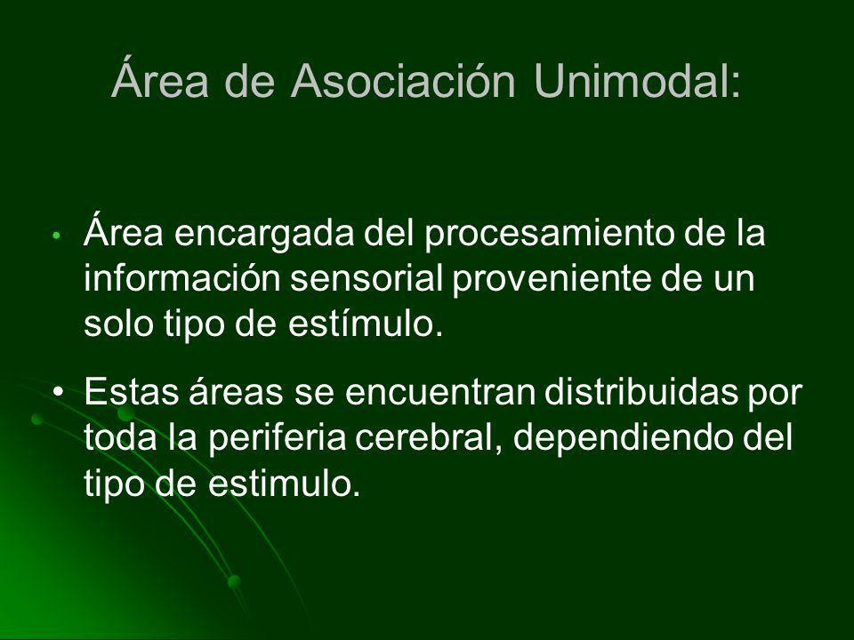 Área de Asociación Unimodal: Área encargada del procesamiento de la información sensorial proveniente de un solo tipo de estímulo. Estas áreas se encu