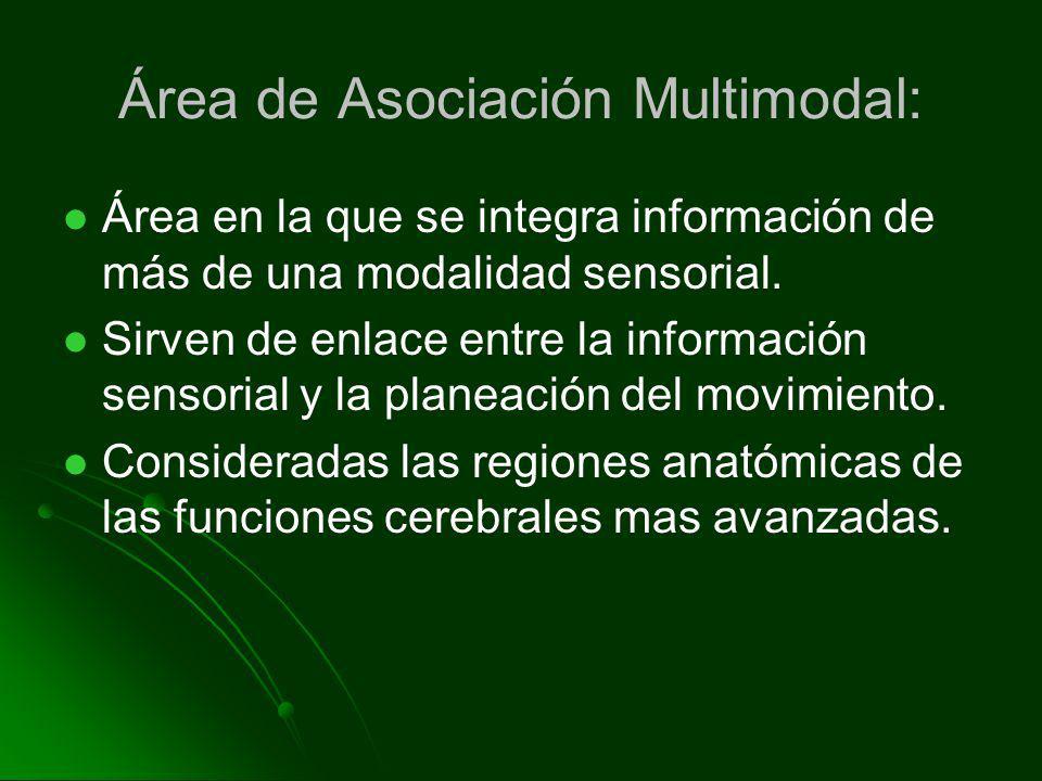 Área de Asociación Multimodal: Área en la que se integra información de más de una modalidad sensorial. Sirven de enlace entre la información sensoria