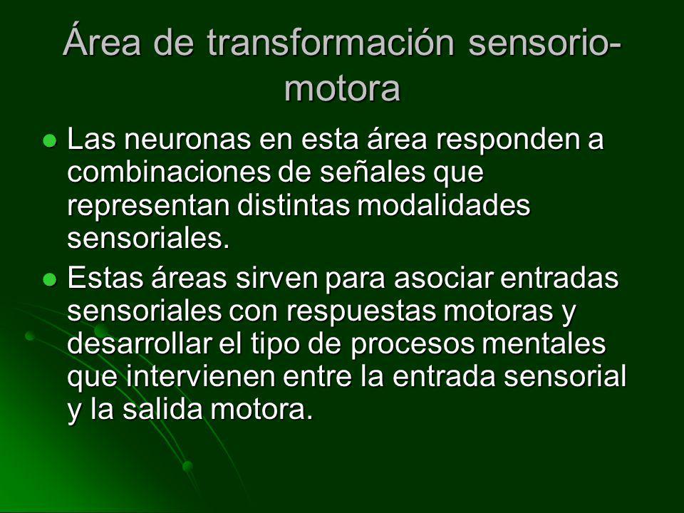 Área de transformación sensorio- motora Las neuronas en esta área responden a combinaciones de señales que representan distintas modalidades sensorial
