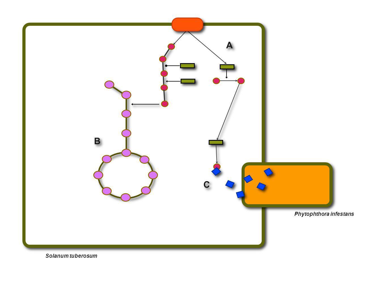 Phytophthora infestans Solanum tuberosum A A B B C C
