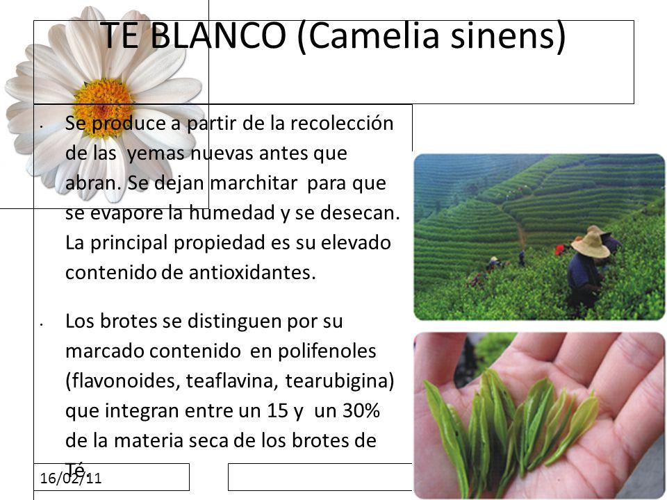 16/02/11 TE BLANCO (Camelia sinens) Se produce a partir de la recolección de las yemas nuevas antes que abran. Se dejan marchitar para que se evapore