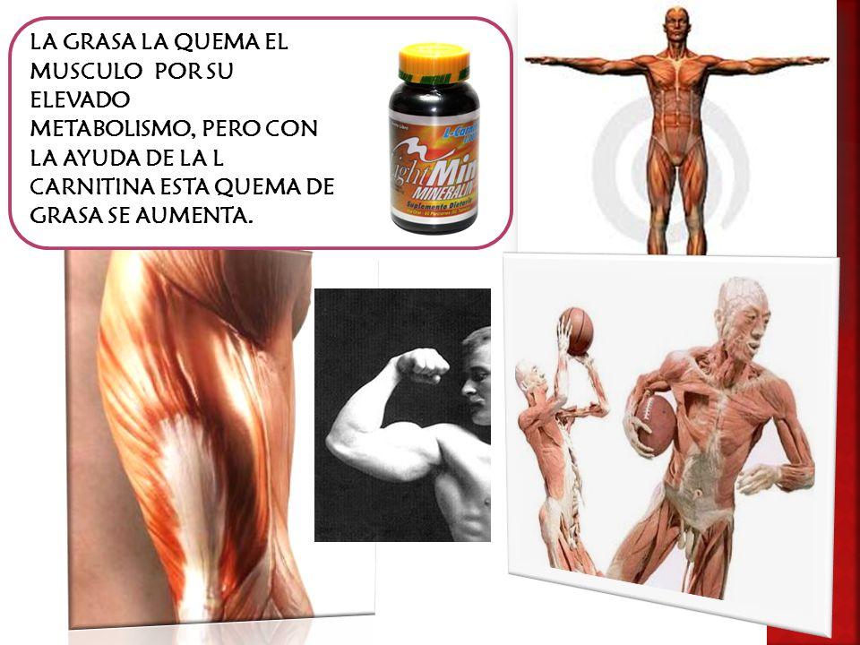 La carnitina aumenta la resistencia para hacer deporte además de ayudar a aumentar mayor masa muscular con el ejercicio.
