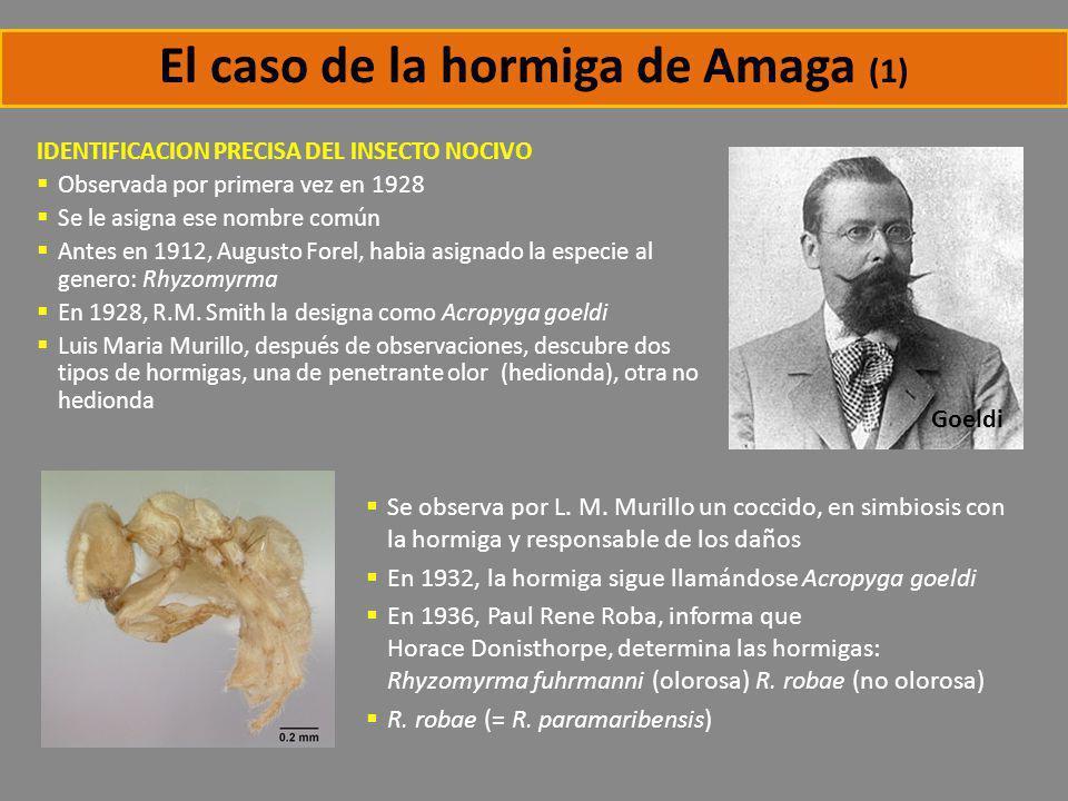 El caso de la hormiga de Amaga (1) IDENTIFICACION PRECISA DEL INSECTO NOCIVO Observada por primera vez en 1928 Se le asigna ese nombre común Antes en