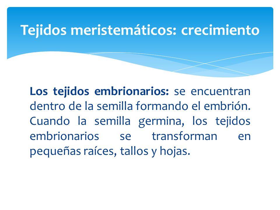 Los tejidos embrionarios: se encuentran dentro de la semilla formando el embrión.