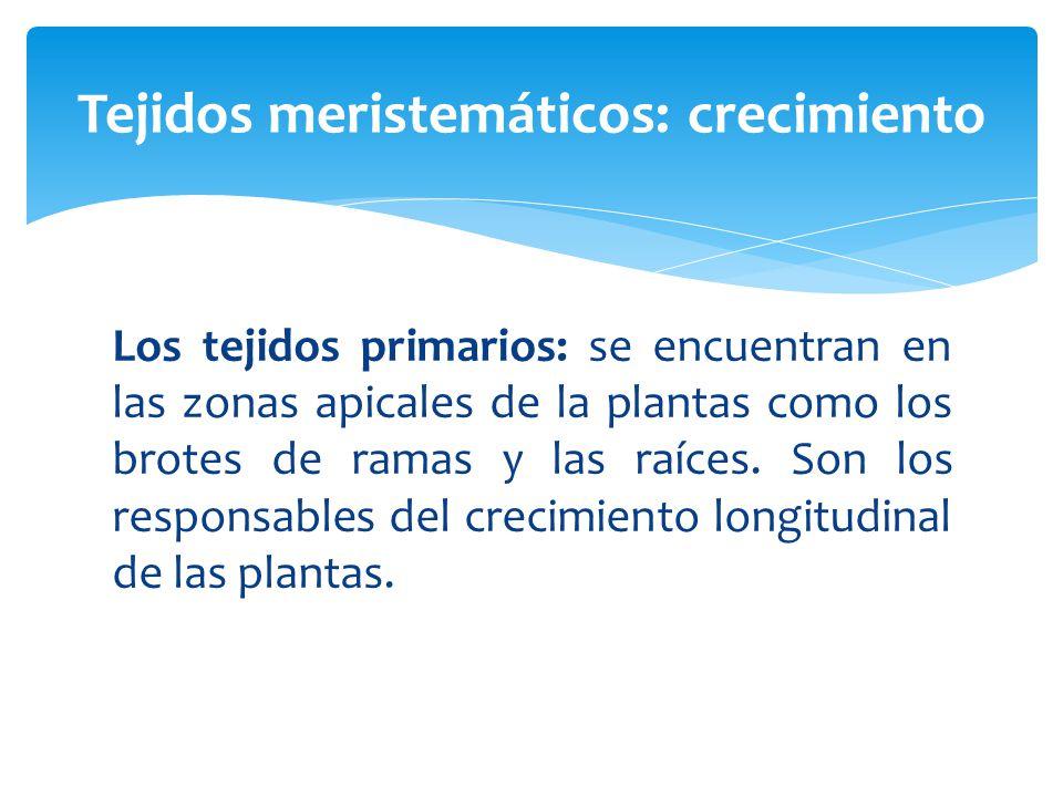 Los tejidos primarios: se encuentran en las zonas apicales de la plantas como los brotes de ramas y las raíces.