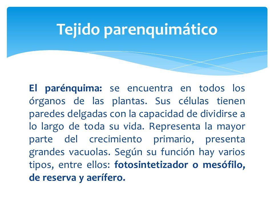 El parénquima: se encuentra en todos los órganos de las plantas.