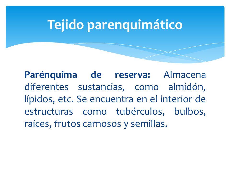 Parénquima de reserva: Almacena diferentes sustancias, como almidón, lípidos, etc.