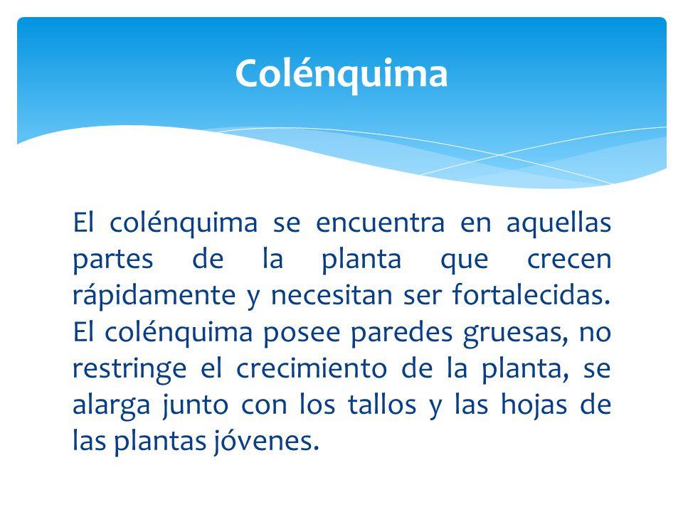 El colénquima se encuentra en aquellas partes de la planta que crecen rápidamente y necesitan ser fortalecidas.