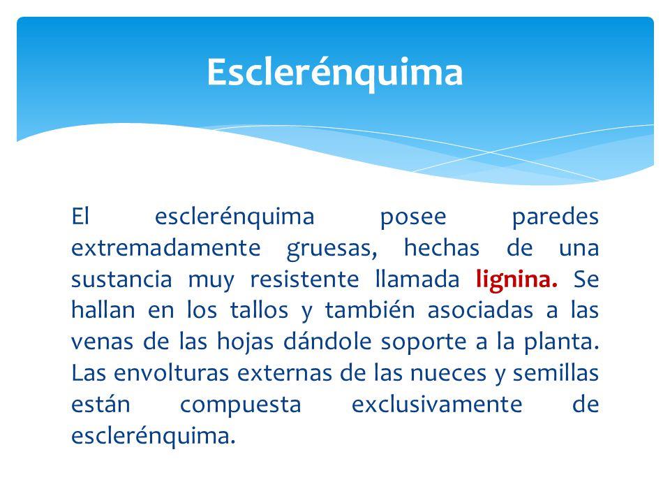 El esclerénquima posee paredes extremadamente gruesas, hechas de una sustancia muy resistente llamada lignina.