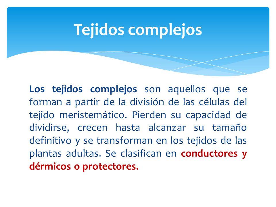 Los tejidos complejos son aquellos que se forman a partir de la división de las células del tejido meristemático.