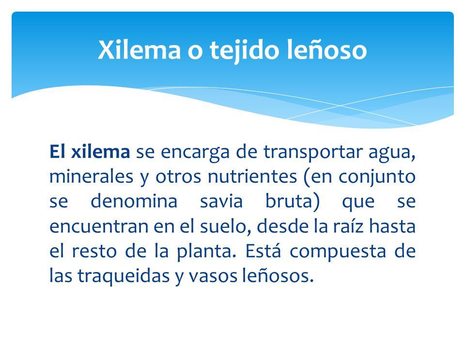 El xilema se encarga de transportar agua, minerales y otros nutrientes (en conjunto se denomina savia bruta) que se encuentran en el suelo, desde la raíz hasta el resto de la planta.