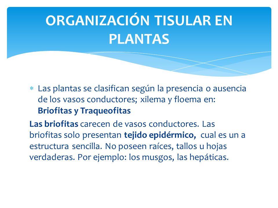 Las plantas se clasifican según la presencia o ausencia de los vasos conductores; xilema y floema en: Briofitas y Traqueofitas Las briofitas carecen de vasos conductores.