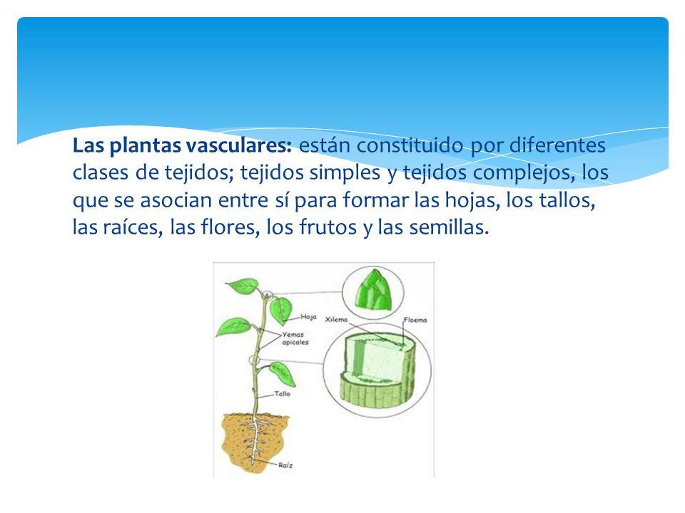 Las plantas vasculares: están constituido por diferentes clases de tejidos; tejidos simples y tejidos complejos, los que se asocian entre sí para formar las hojas, los tallos, las raíces, las flores, los frutos y las semillas.