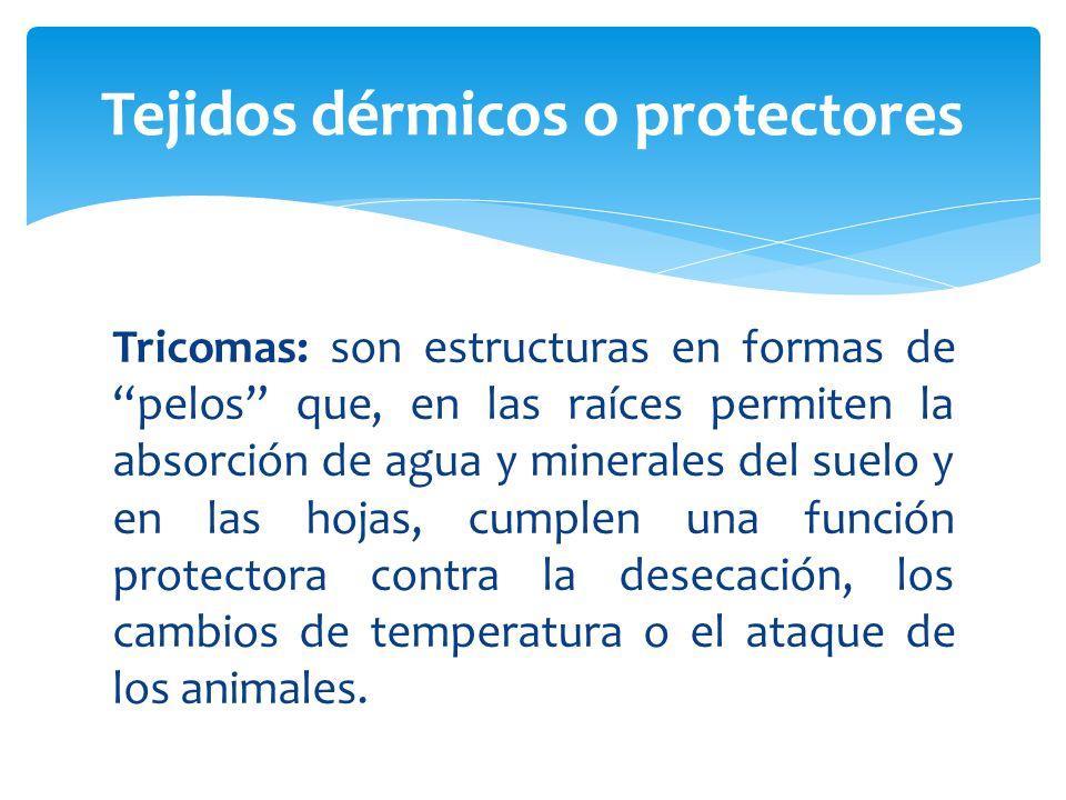 Tricomas: son estructuras en formas de pelos que, en las raíces permiten la absorción de agua y minerales del suelo y en las hojas, cumplen una función protectora contra la desecación, los cambios de temperatura o el ataque de los animales.