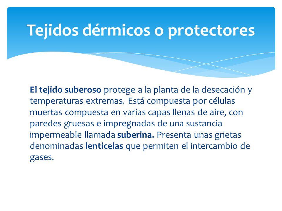 El tejido suberoso protege a la planta de la desecación y temperaturas extremas.