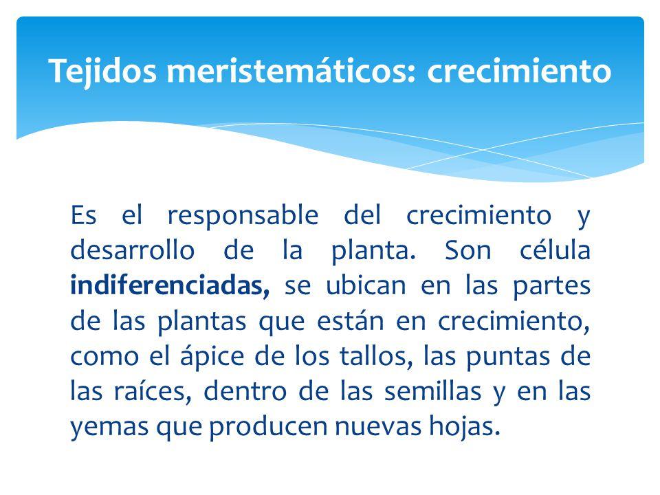 Es el responsable del crecimiento y desarrollo de la planta.
