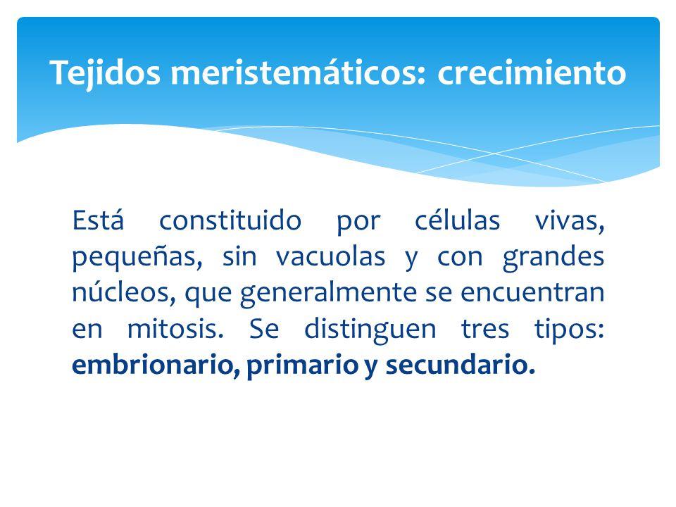 Está constituido por células vivas, pequeñas, sin vacuolas y con grandes núcleos, que generalmente se encuentran en mitosis.