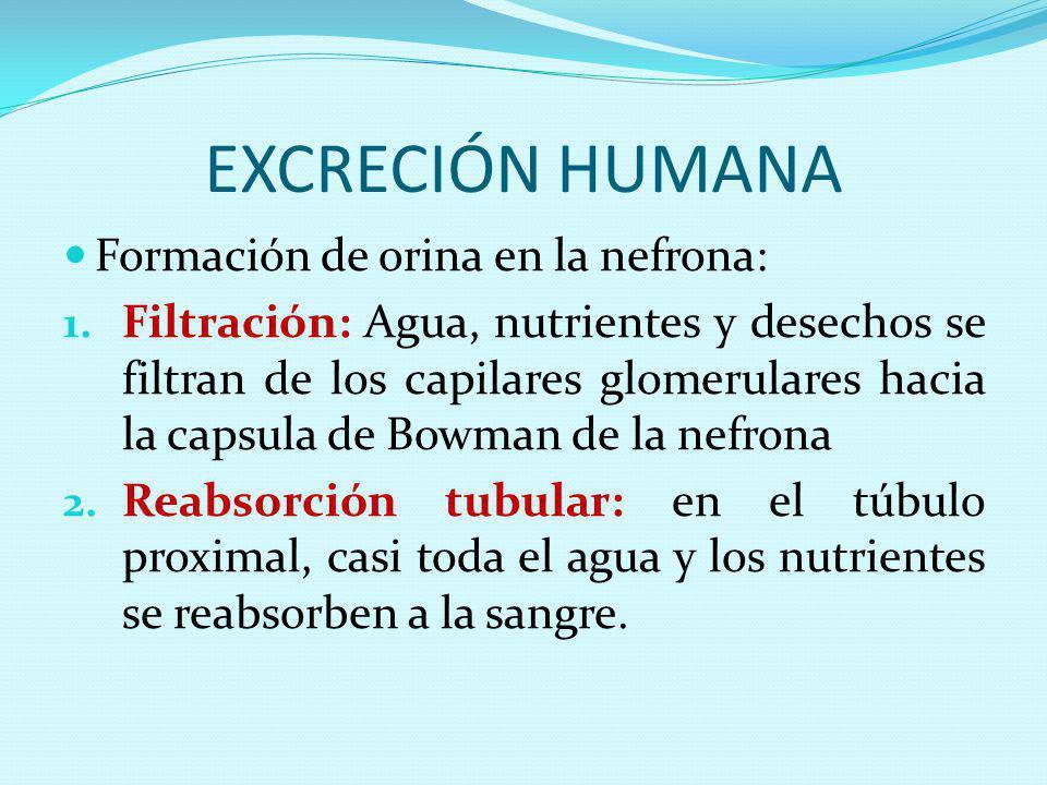 EXCRECIÓN HUMANA Formación de orina en la nefrona: 1. Filtración: Agua, nutrientes y desechos se filtran de los capilares glomerulares hacia la capsul