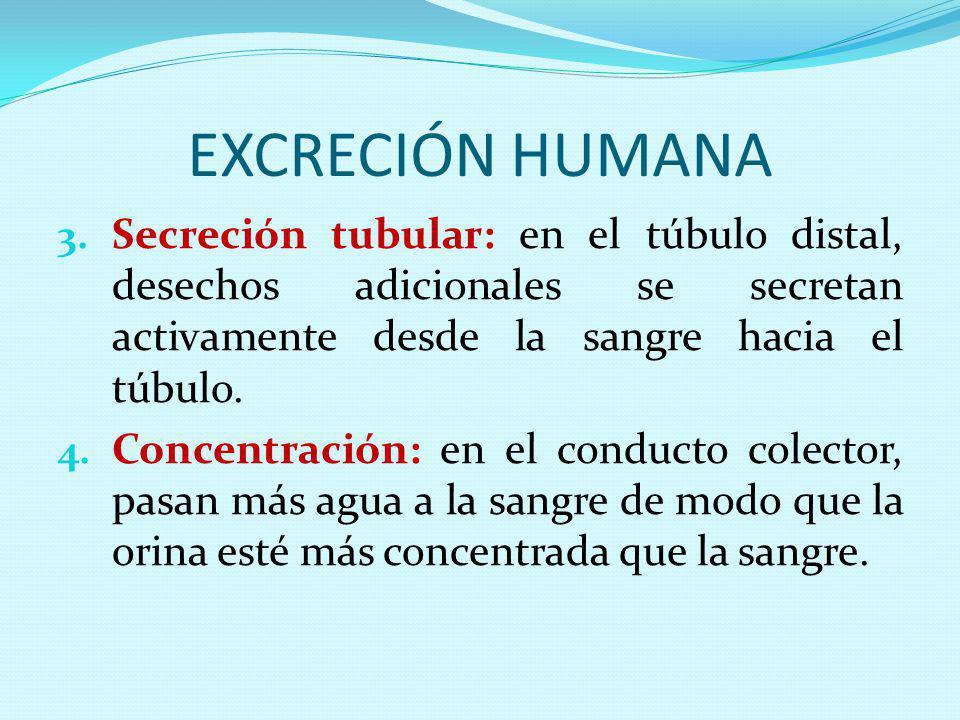 EXCRECIÓN HUMANA 3. Secreción tubular: en el túbulo distal, desechos adicionales se secretan activamente desde la sangre hacia el túbulo. 4. Concentra