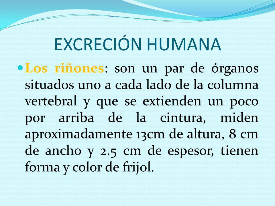 EXCRECIÓN HUMANA Los riñones: son un par de órganos situados uno a cada lado de la columna vertebral y que se extienden un poco por arriba de la cintu