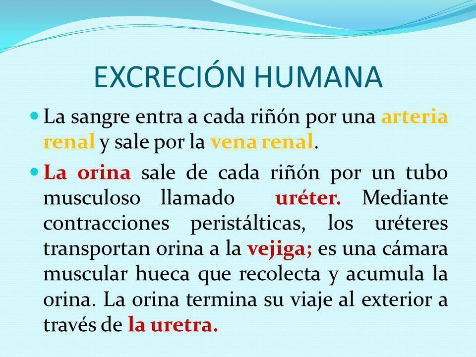 EXCRECIÓN HUMANA La sangre entra a cada riñón por una arteria renal y sale por la vena renal. La orina sale de cada riñón por un tubo musculoso llamad