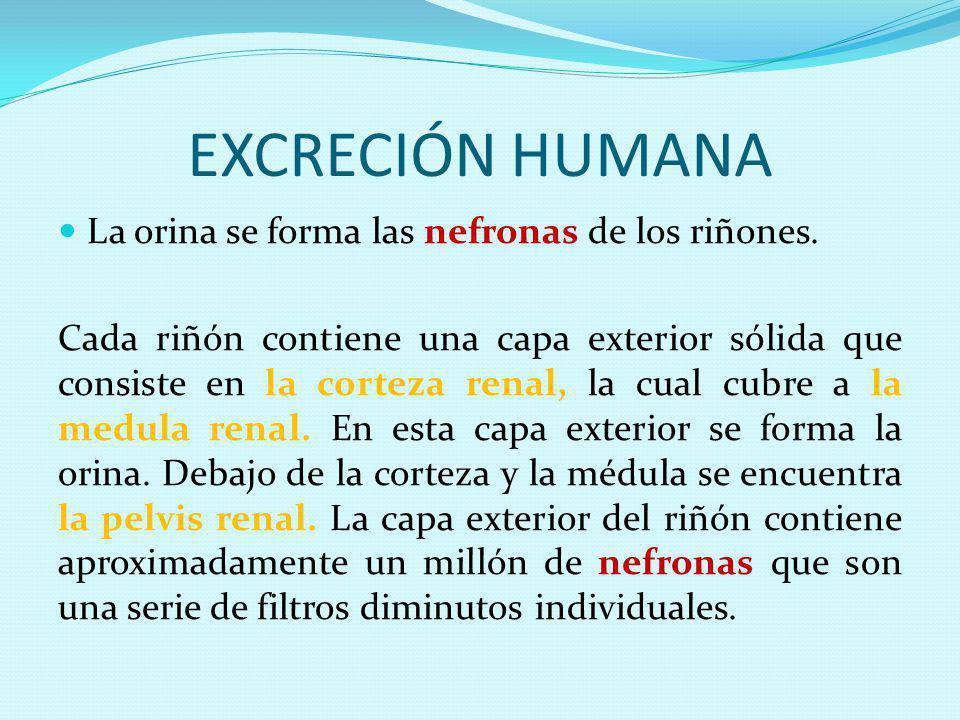 EXCRECIÓN HUMANA La orina se forma las nefronas de los riñones. Cada riñón contiene una capa exterior sólida que consiste en la corteza renal, la cual