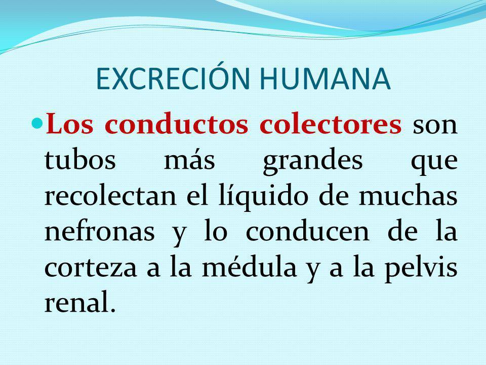 EXCRECIÓN HUMANA Los conductos colectores son tubos más grandes que recolectan el líquido de muchas nefronas y lo conducen de la corteza a la médula y