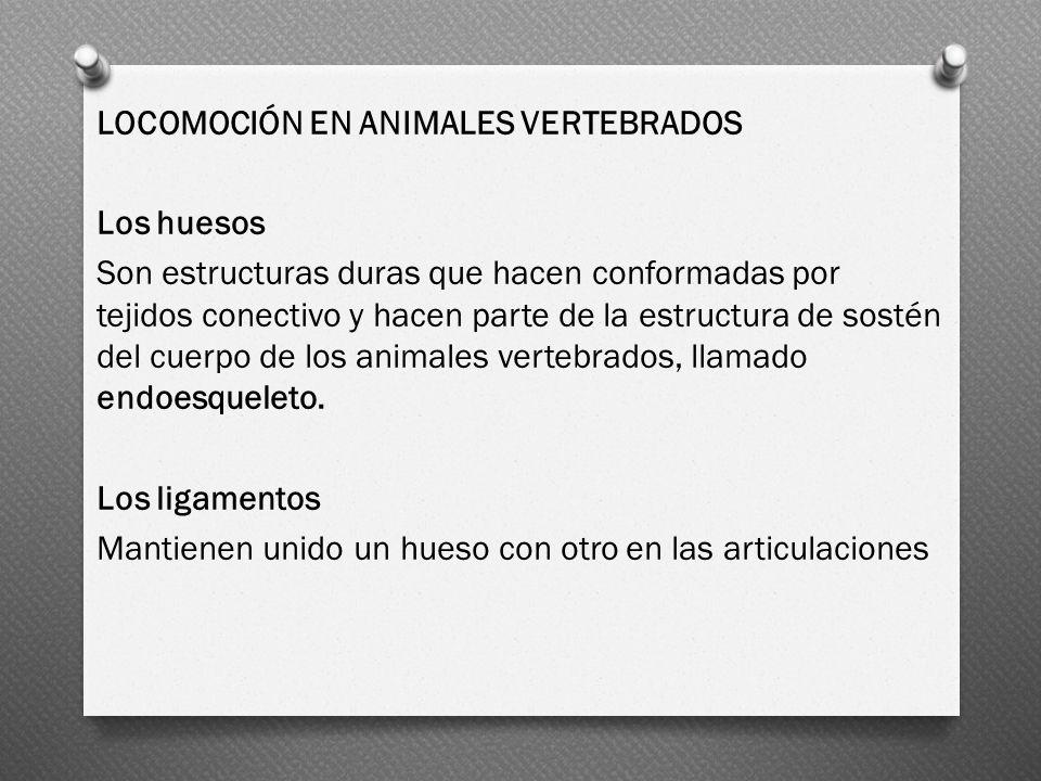 LOCOMOCIÓN EN ANIMALES VERTEBRADOS Los huesos Son estructuras duras que hacen conformadas por tejidos conectivo y hacen parte de la estructura de sost