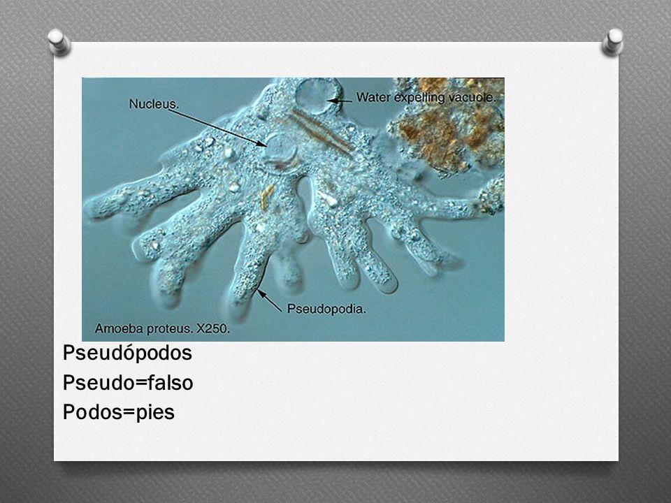Pseudópodos Pseudo=falso Podos=pies