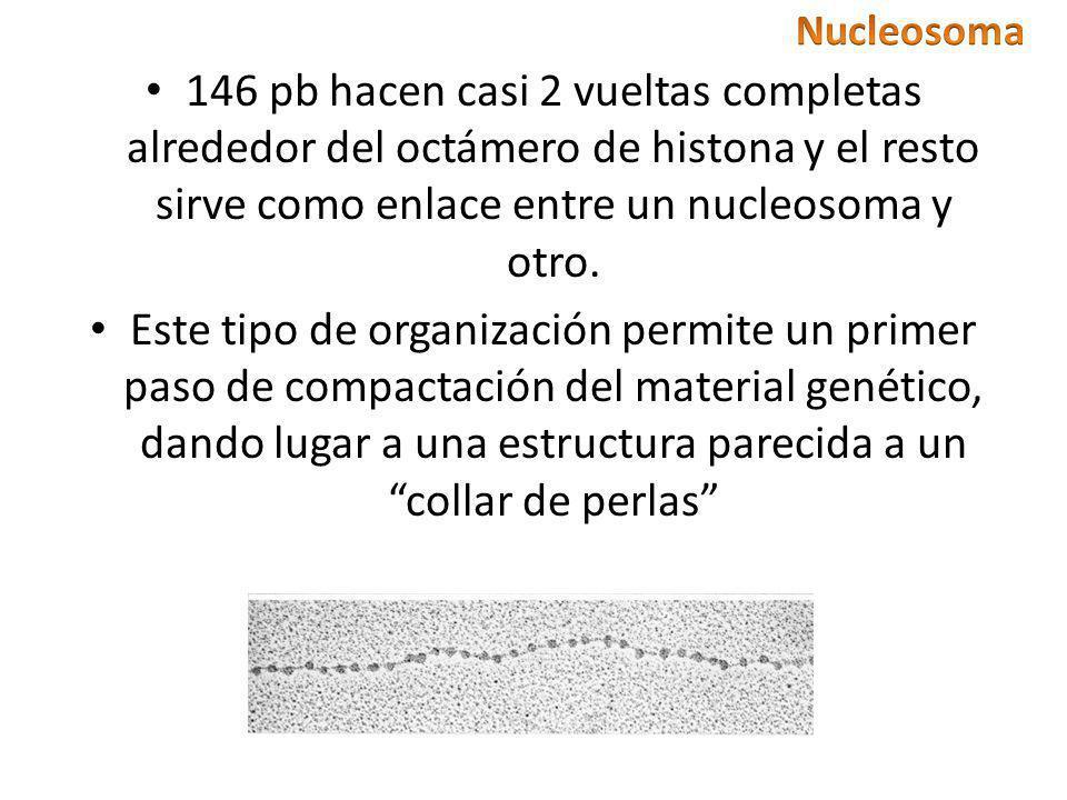 146 pb hacen casi 2 vueltas completas alrededor del octámero de histona y el resto sirve como enlace entre un nucleosoma y otro. Este tipo de organiza