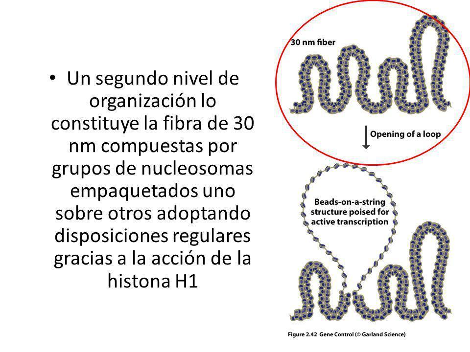 Un segundo nivel de organización lo constituye la fibra de 30 nm compuestas por grupos de nucleosomas empaquetados uno sobre otros adoptando disposici