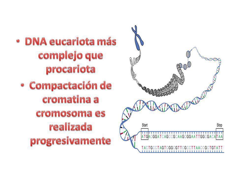 1.La heterocromatina está condensada – Cromofílica e inaccesible a DnasaI 2.Su DNA se replica más tarde 3.DNA metilado 4.Histonas hipoacetiladas 5.Histonas metiladas 6.Transcripcionalmente inactiva 7.No participa en la recombinación genética