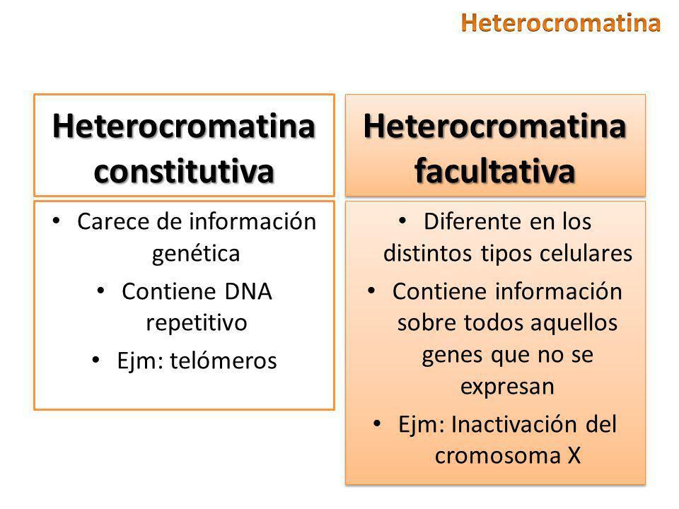 Heterocromatina constitutiva Carece de información genética Contiene DNA repetitivo Ejm: telómeros Heterocromatina facultativa Diferente en los distintos tipos celulares Contiene información sobre todos aquellos genes que no se expresan Ejm: Inactivación del cromosoma X Diferente en los distintos tipos celulares Contiene información sobre todos aquellos genes que no se expresan Ejm: Inactivación del cromosoma X