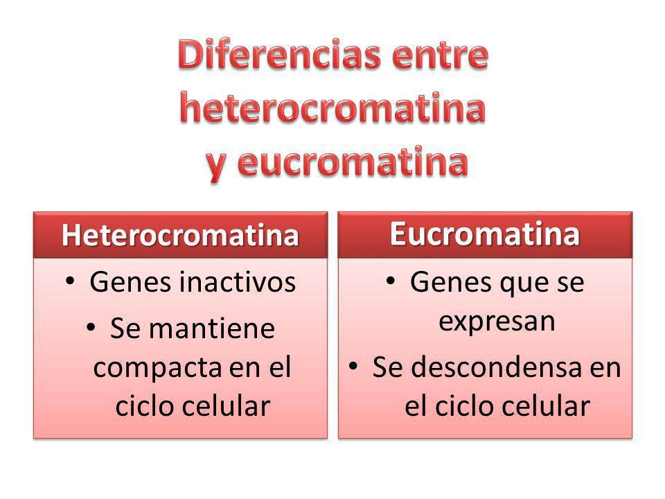 HeterocromatinaHeterocromatina Genes inactivos Se mantiene compacta en el ciclo celular Genes inactivos Se mantiene compacta en el ciclo celular EucromatinaEucromatina Genes que se expresan Se descondensa en el ciclo celular Genes que se expresan Se descondensa en el ciclo celular