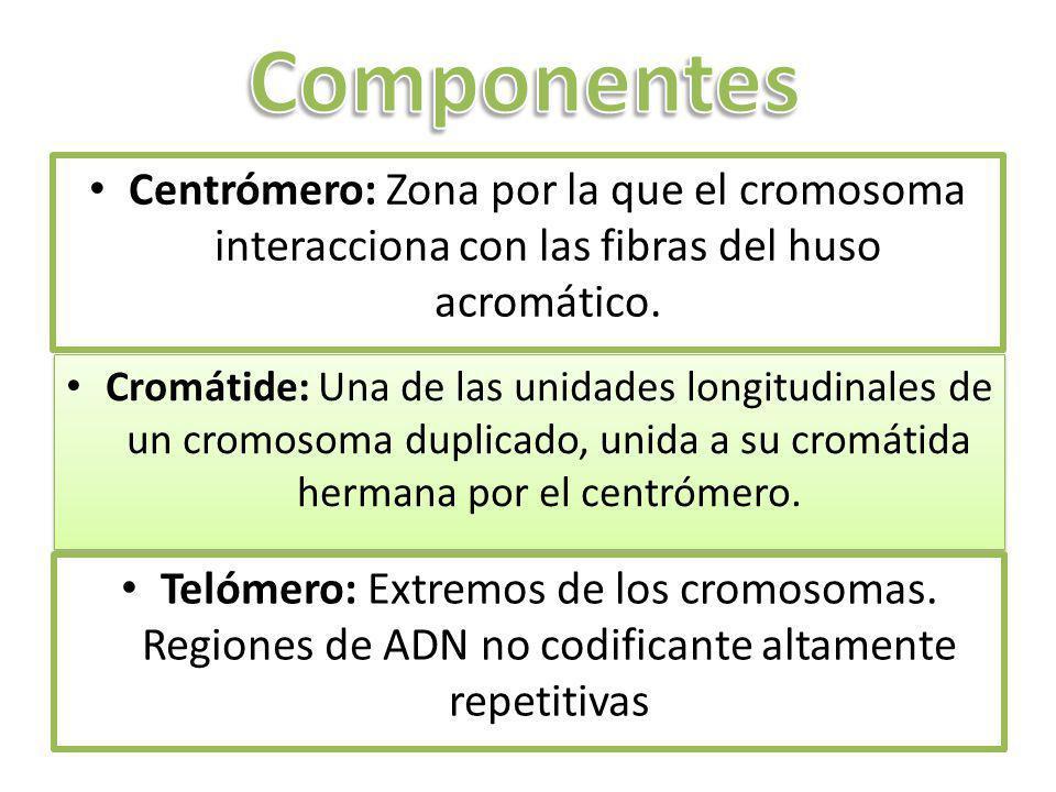 Centrómero: Zona por la que el cromosoma interacciona con las fibras del huso acromático. Cromátide: Una de las unidades longitudinales de un cromosom