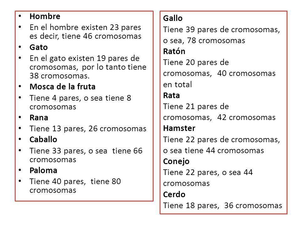 Hombre En el hombre existen 23 pares es decir, tiene 46 cromosomas Gato En el gato existen 19 pares de cromosomas, por lo tanto tiene 38 cromosomas. M