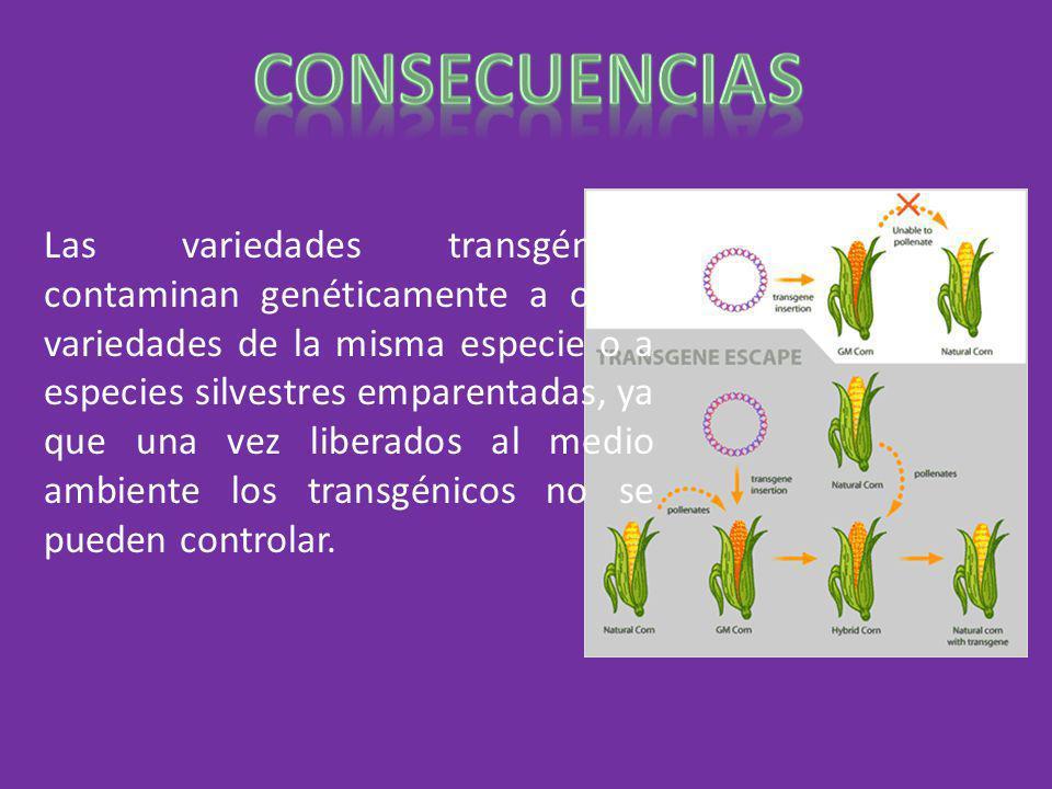 Las variedades transgénicas contaminan genéticamente a otras variedades de la misma especie o a especies silvestres emparentadas, ya que una vez liber
