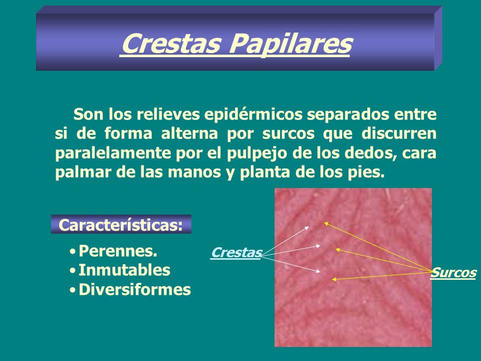 Crestas Papilares Son los relieves epidérmicos separados entre si de forma alterna por surcos que discurren paralelamente por el pulpejo de los dedos,