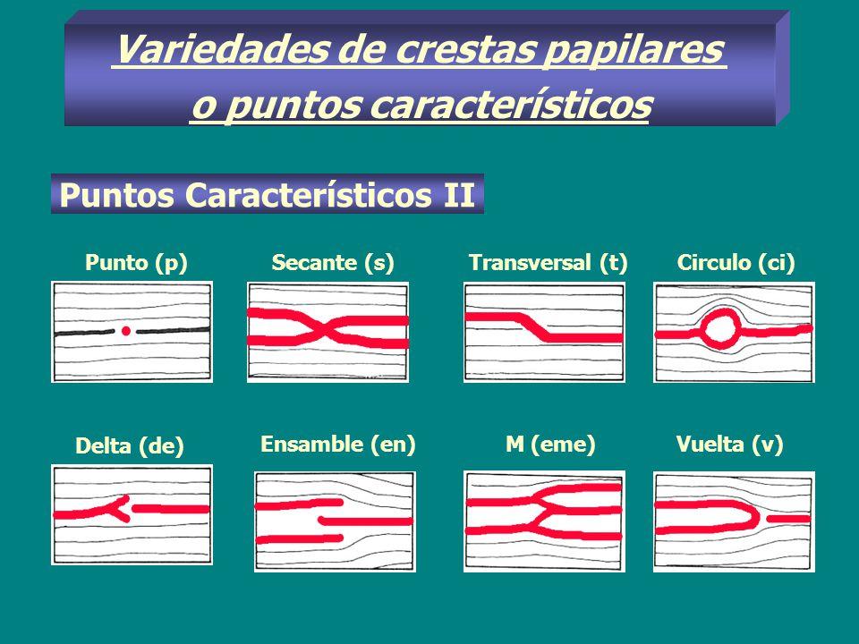 Variedades de crestas papilares o puntos característicos Puntos Característicos II Punto (p)Secante (s)Transversal (t) Circulo (ci) Delta (de) Ensambl