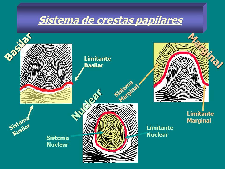 Tipos de Núcleos AnsiformeVerticilar BIANSIFORME mIXTO Tipos de NUCLEOS Formado por crestas en asa encajadas unas en otra Compuesto por cresta curvas en forma de círculos, elipses o espirales Configurado por la combinación de dos núcleos ansiformes, uno de ellos de asas volteadas.
