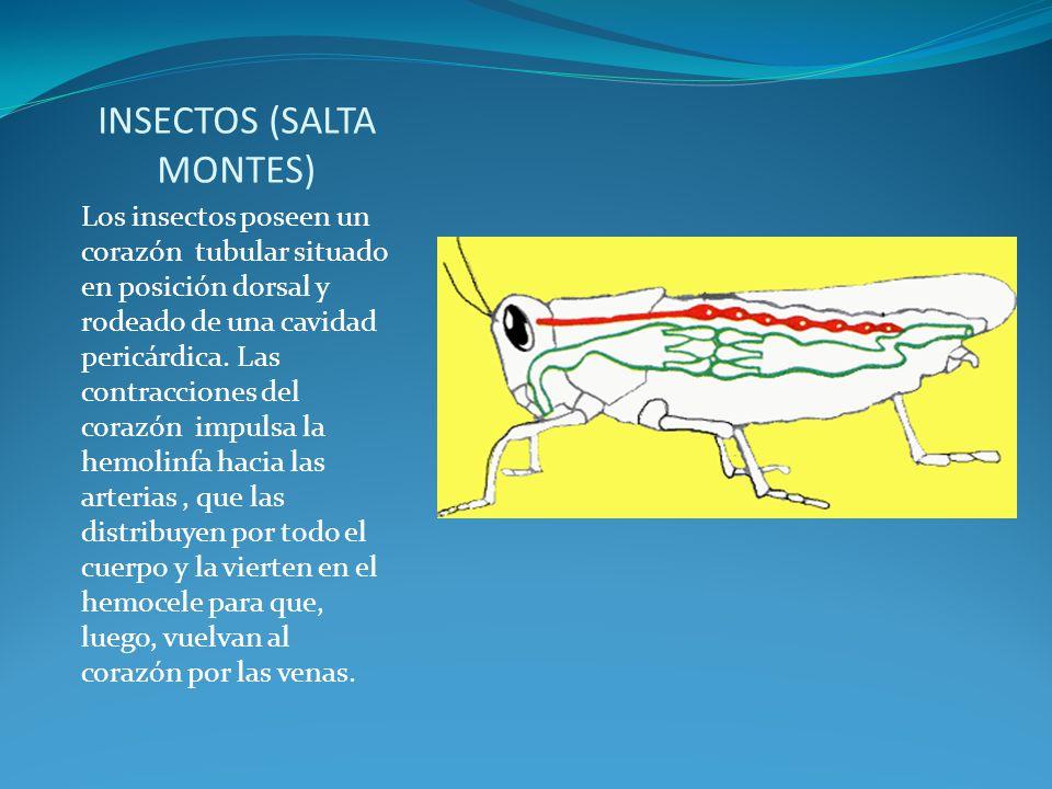 INSECTOS (SALTA MONTES) Los insectos poseen un corazón tubular situado en posición dorsal y rodeado de una cavidad pericárdica. Las contracciones del