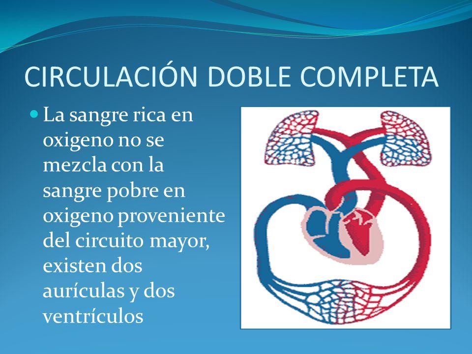 CIRCULACIÓN DOBLE COMPLETA La sangre rica en oxigeno no se mezcla con la sangre pobre en oxigeno proveniente del circuito mayor, existen dos aurículas y dos ventrículos